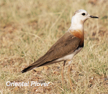 mong-oriental plover