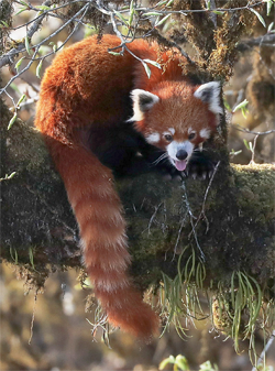 red panda, Blue Elephant, Birdwatching, Bhutan