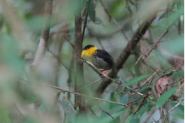 RV-col-Golden-collared manakin
