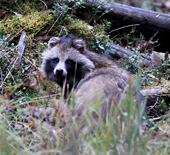 est-raccoon