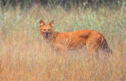 ind-dhole