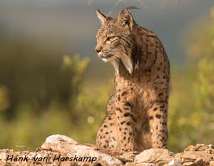 Pardellynx, Iberische Lynx,