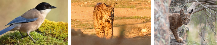 Iberische lynx, pardellynx