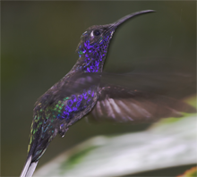 Costa Rica, Blue Elephant, Violet Sabrewing