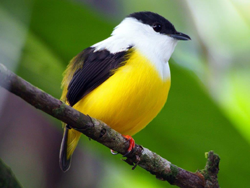 White-collared Manakin, Blue Elephant, Costa Rica