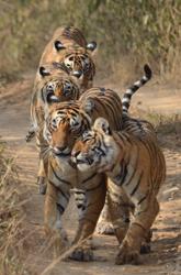 India, Blue Elephant, tijger
