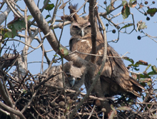 India, Blue Elephant, Dusky horned owl