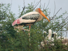 India, Blue Elephant, painted stork, nimmerzat