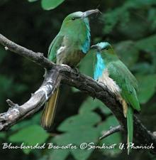 Thai-blue-b-beeeater