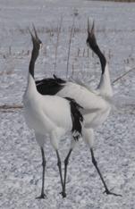 Red-crowned crane, Japanse kraanvogel, Chinese kraanvogel, Blue Elephant