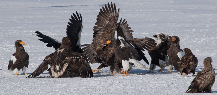 Steller's Sea Eagle, Blue Elephant