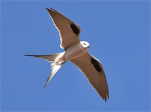 Blue Elephant, Swallow-tailed kite, Senegal, Gambia
