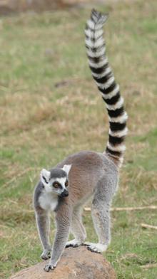Madagaskar, ringstaartmaki, maki, Blue Elephant