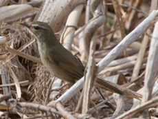 Japanese Bush Warbler, Blue Elephant, Okinawa