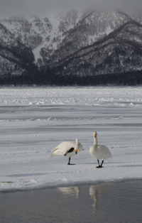 Japan, Lake Kusshuro, Wilde Zwaan, Hokkaido, Blue Elephant