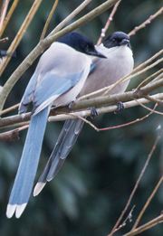 Azure-winged Magpie, Blue Elephant, Japan