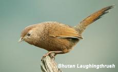 Bhutan Laughingthrush, Blue Elephant, Birdwatching, Bhutan, Fotografiereis