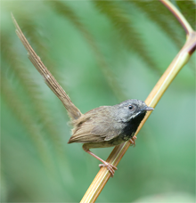 Black-throated Prinia, Blue Elephant, Birdwatching, Bhutan, Fotografiereis