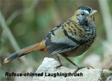 Rufous-chinned Laughingthrush, Blue Elephant, Birdwatching, Bhutan, Fotografiereis