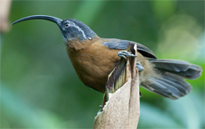 Slender-billed Scimitar Babbler, Blue Elephant, Birdwatching, Bhutan