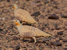 Sahelzandhoen, Blue Elephant, vogelreis, Marokko