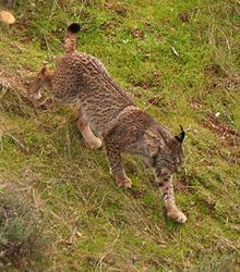 Iberische lynx, pardellynx, Blue Elephant, vogelreis,