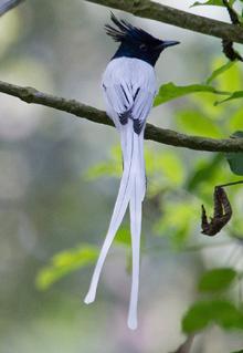 Blue Elephant, Sri Lanka, Paradijsvliegenvanger, vogelreis,