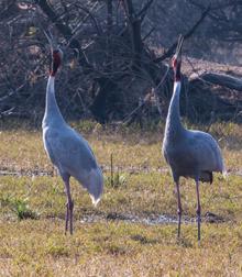 Blue Elephant, vogelreis, India, Sat Tal, Pangot, Corbett, Chambal, , Sarus Crane