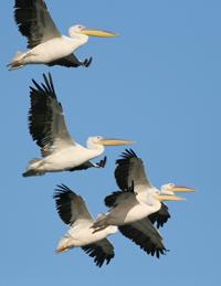 Blue Elephant, pelikanen, Griekenland, Kerkini, Bulgarije