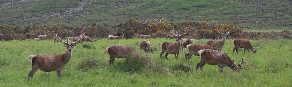 Edelhert, Schotland, loch, Blue Elephant, vogelreis, natuurreis