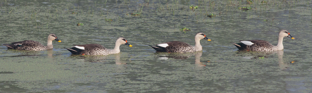 India, Spot-billed Duck, Blue Elephant, vogelreis, natuurreis, Bharatpur