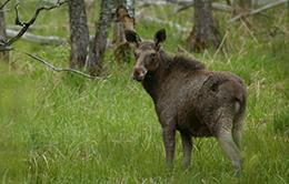 Blue Elephant, vogelreis, natuurreis, natuurbeleving, Estland, Aanbieding, korting,  eland,  zeearend, norpa,  kanovaren, hoogveen, bog-shoeing, bruine beer
