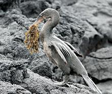 Galápagos cruise, landschildpad, Mockingbird, spotlijster, landleguaan, zeeleguaan, fregatvogels, Ecuador, Galápagos-eilanden, Isla Isabela, North seymour