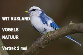 Blue elephant, vogelreis, natuurreis, Estland, WitRusland, bruine beer, middelste bonte specht, zuurmees, poelsnip