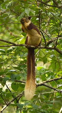 Blue Elephant, Goa, vogels, rust, Western Ghats, Indian Giant Squirrel,