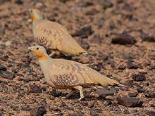 Woestijnoehoe, Blue Elephant, vogelreis, Marokko, Pharaoh-Eagle-Owl, desert wheatear