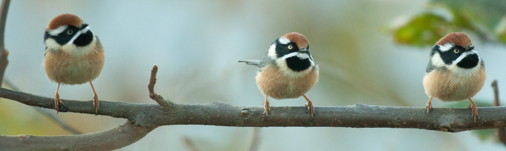 Blackthroated tit, Blue Elephant, India, Bhutan