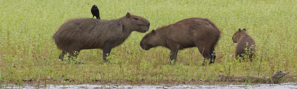 Brazilië, Pantanal, Blue Elephant, Capibara, Kaaiman, vogelreis, natuurreis