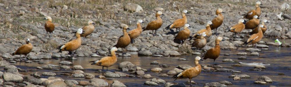 Casarca, Bhutan, India, loch, Blue Elephant, vogelreis, natuurreis
